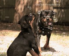 Rottweilers  and Bubbles