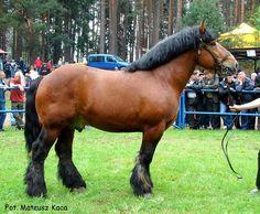 Ardennes  - stallion Ulysse de Rosiere