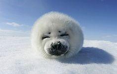 Baby seal,harp seal,baby animals,most adorable baby animals,cute baby animal Harp Seal Pup, Baby Harp Seal, Baby Seal, Cute Creatures, Beautiful Creatures, Animals Beautiful, Beautiful Babies, Tier Wallpaper, Animal Wallpaper