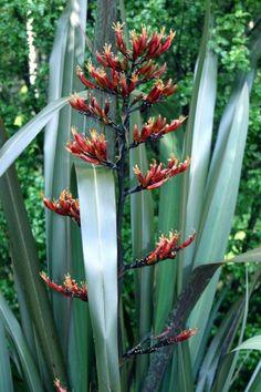 Phormium tenax Flax by Tony Foster Phormium tenax New Zealand Flax Harakeke: Phormium tenax Flax by Maori Tattoos, Key Tattoos, Skull Tattoos, Foot Tattoos, Sleeve Tattoos, Garden Plants, House Plants, Garden Fun, Garden Pool