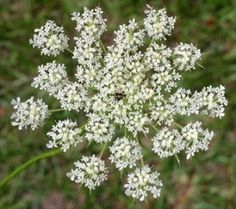Wild Carrot (Daucus Carota) is the wild edible equivalent to garden carrots. Very easy to find and cultivate. Just watch out for poisonous wild carrot look a