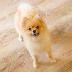 model:ポテチ #doghuggy #ドックハギー #dogstagram #ポメラニアン #ポメ #犬なしでは生きていけません会 #犬バカ部 #いぬら部 #ポメラニアンクリーム