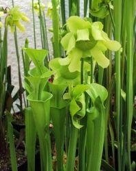 Sarracenia alata x flava maxima - South West Carnivorous Plants