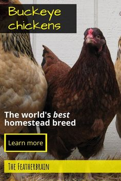 Find out if Buckeye chickens are the right breed for you. See what these chickens look like (with pictures and videos of hens, roosters, and chicks), and learn how many eggs they lay. Discover if this beautiful, rare, and friendly heritage breed is right for you! Types Of Chickens, Raising Backyard Chickens, Country Farm, Country Life, Buckeye Chicken, Avocado Tree, Broody, Big Backyard, Red Hen