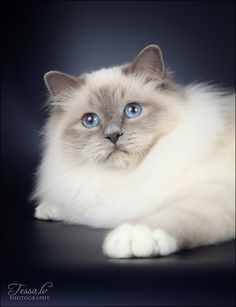Gorgeous beauty Hello, Sir Purrsival look alike! Love those mighty paws & almond shaped big blues!