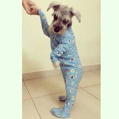 Ranked as one of the most popular dog breeds in the world, the Miniature Schnauzer is a cute little square faced furry coat. Toy Schnauzer, Miniature Schnauzer Puppies, Schnauzer Grooming, Cute Puppies, Cute Dogs, Dogs And Puppies, Doggies, Funny Animal Pictures, Dog Pictures