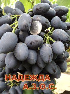 НАДЕЖДА АЗОС-2