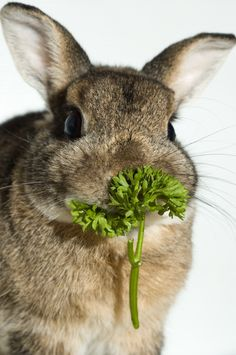 Parsley is very good for rabbits, especially those with urinary issues.    Other safe herbs to feed are: mint, corriander (cilantro), basil, dill, thyme & rosemary.