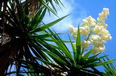"""Receta - Flor de Itabo con huevo    """"En El Salvador y Nicaragua es conocida como Izote y Espadillo, en Costa Rica se le llama Itabo. Es un arbusto de 3 a 10 metros de altura, habita bosques secos, en elevaciones de 0 hasta los 1000 metros. En Honduras se ha cultivado en todo el país, sobre todo en elevaciones medias y secas. En Costa Rica y El Salvador está ampliamente distribuida en todo su territorio"""" por @inbiocr"""