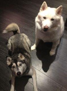 Huskies :)