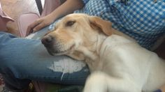 "My niece Burcu Özgültekin's dog Şeker ♥ Her name means ""sugar"". It's a Labrador Retriever."
