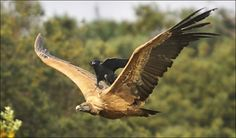 "Crow is catching a ride on the back of a Vulture in Spain. Here's the scoop:    ""The crows are certainly intelligent. This year, one of the most peculiar photographies of the nature is the sequence taken by the photographer Jose Luis Garci'a Larred in Soria, Spain. In it a crow is seen resting on backs of a leonado vulture. According to what I read in the news commentaries, the photographer could observe how the crow traveled about two hundred meters on the vulture."""