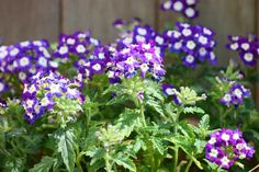 Verbena  Top 5 Annual Flowers