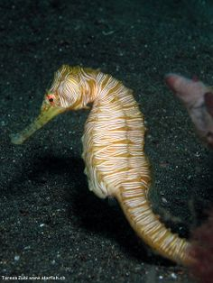 The Zebra-Seahorse is a rare but beautiful sight with white stripes all over the body.