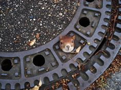 In this Aug. 5, 2012 file photo, and publicly provided by the police department in Hanover, Germany, a squirrel is trapped in a manhole cover in Isenhagen, northern Germany. After they were called by neighbors, police managed to free the animal by using olive oil. (AP Photo/Police Hanover, File) - NO ARCHIVE - MANDATORY CREDIT -