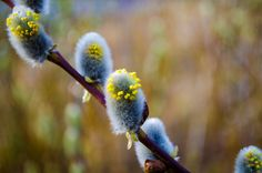 Furry catkins by Kisun Pokharel on 500px