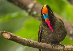 Rainbow-bearded Thornbill = Pico de cuña con barba arcoiris.
