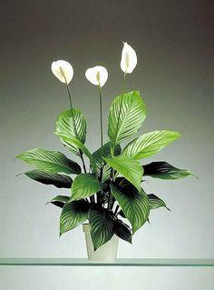 Lopatkovec   Spathiphyllum : návod k pěstování, požadavky na světlo, hnojení, vlhkost, množení a zalévání
