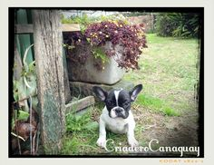bulldog frances en bogota, criadero de bulldog frances colombia, cachorritos bulldog frances en venta