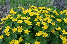 Rentukka | Caltha palustris | Marsh marigold/kingcup Forest Flowers, Wild Flowers, Marigold Tattoo, Marsh Marigold, Middle Earth, Fungi, Natural Beauty, Flora, Scenery