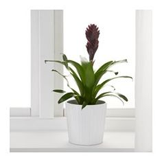 IKEA - BROMELIACEAE, Plante en pot