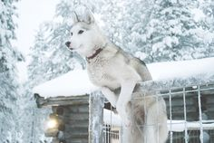 this is a silver siberian husky