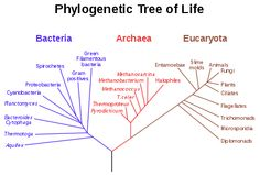 Phylogenetic Tree of Life - Three Domains of life: Eukarya have a nuclear membrane, Archaea and Bacteria are both prokaryotic but follow very different evolutionary histories. The division on kingdoms is controversial but Eukarya could be separated into Animalia, Plantae, Fungi, Chromista (Red Algae) and Protozoa.