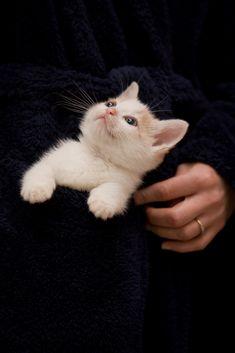 Milo: pocket kitten