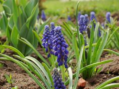 Miniature Hyacinths