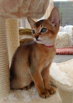 Are you cat lovers? What kind of cats do you know? Of course, they are a pretty, adorable, and cute animal! But what do you know about the cat? Kittens Cutest, Cats And Kittens, Cute Cats, Most Beautiful Cat Breeds, Beautiful Cats, Exotic Shorthair, British Shorthair, Cat Anatomy, Cat Reference