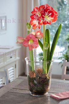 Hippeastrum (Amaryllis) 'Vera' i 'Samba' Bulb Flowers, Glass Jars, Indoor Plants, Flower Arrangements, Centerpieces, Table Settings, Christmas Decorations, Arts And Crafts, Vase