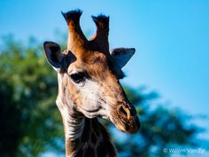 Some Giraffes I saw whilst on a walk in Limpopo, South Africa Giraffes, I Saw, Wildlife Photography, Outdoor Activities, Mammals, South Africa, Nature, Photos, Naturaleza