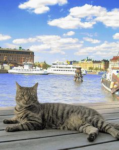 Cat in Stockholm;Sweden    Very friendly Swedish cat who live on a boat