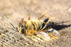 More than 500 million bees were found dead in Brazil over a three-month period earlier in Now, scientists are linking these mass die-offs to an increase pesticides use, fueled by the weakening of chemical regulations by the Bolsonaro administration Dead Bees, Bee Safe, Weed Killer, Beneficial Insects, Felder, University Of Florida, Bee Keeping, Brazil, Pets