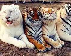 The Snow White,Standard, Golden Tabby and White Bengal tigers.