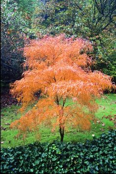 Acer palmatum 'Koto no ito' - Good for containers. Fine green leaves in summer. Deciduous Trees, Trees And Shrubs, Trees To Plant, Japanese Maple Varieties, Landscape Design, Garden Design, Specimen Trees, Acer Palmatum, Maple Tree