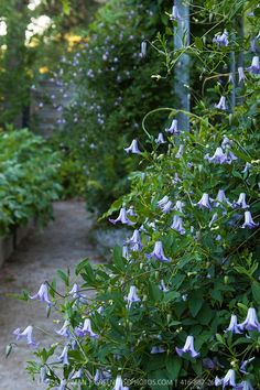 Clematis 'Betty Corning', later flowering type of clematis Back Gardens, Outdoor Gardens, Clematis Vine, Blue Clematis, Raindrops And Roses, Climbing Vines, Flowering Vines, Garden Cottage, Dream Garden