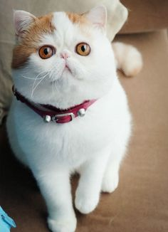 I'm NOT a cat person.. but I wouldn't mind having one of these funny lookin' things roaming around my house. TOO CUTE! Exotic Shorthair