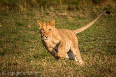 Learn to attack. | Young Lion. | Masai Mara. | Kenya. |  www.ingogerlach.com