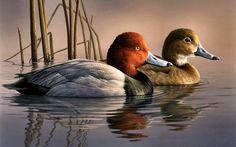 Image Flying Redhead Duck   Redhead Ducks wallpaper