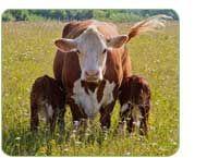 The Whittington Herd of Organic Pedigree Hereford Cattle