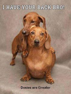 Dachshund Lov #dachshund Love
