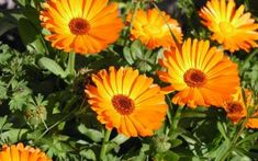 Use of Calendula: This is a wonderful herb that can control extra oil and sebum easily. Calendula often used for medicinal and culinary purposes. Its anti viral and anti bacterial qualities make it very prominent. Blooming Flowers, Calendula Tea, Tree Seeds, Annual Flowers, Healing Herbs, Blossom Flower, Flower Petals, Orange Flowers, Hd Flowers