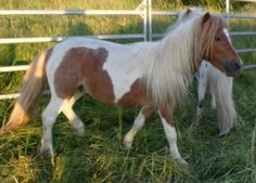 American Miniature Horse Hengst 3,5 Jahre 87 cm Falbe