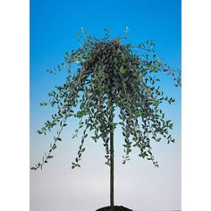 PRYDNADSTRÄD KRYPVIDE GRÅGRÖN 80 CM - Prydnadsträd - Uteväxter - Växter - Växter & Krukor
