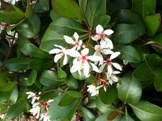 India Hawthorne - small evergreen shrub with white flowers in the spring.