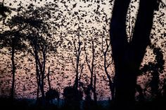 kasanka-bat-migration Written by: Michael Lorentz  During the last eight weeks of every year an incredible phenomenon takes place in the 'Mushitu' swamp forests of Kasanka National Park, Zambia. Up to 10 million straw-coloured fruit bats from across the Congo Basin converge on the forest, enticed by the abundance of fruit delicacies such as musuku, mufinsa and mango.  - See more at: http://africageographic.com/blog/video-the-great-bat-migration-of-kasanka/#sthash.9H8DqCgy.dpuf