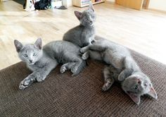My Russian Blue kittens
