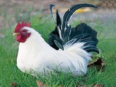 Bantam refers to a  breed of chicken   in which the adult bird is significantly smaller than standard  chickens. Bantam breeds range from one quarter to one half the size of  typical chickens and are popular with some backyard keepers for their  reduced food and space requirements.