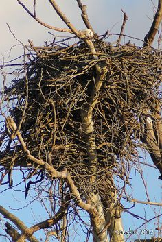 Bald Eagle's Nest. American Bald Eagle art portraits, photographs, information and just plain fun. Also see how artist Kline draws his animal art from only words at drawDOGS.com